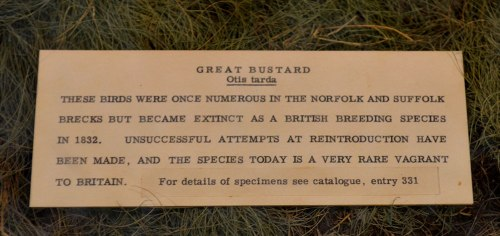 The Great Bustard Label from the Norwich Castle Museum