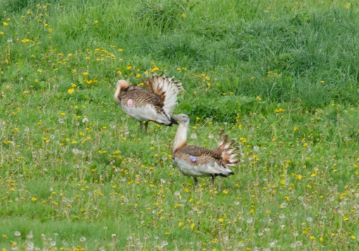 GreatBustards_21