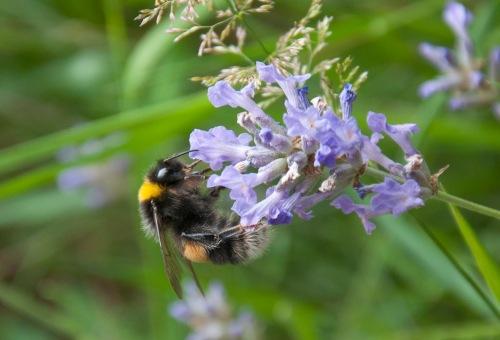 Bee_lavender_DSC_0153